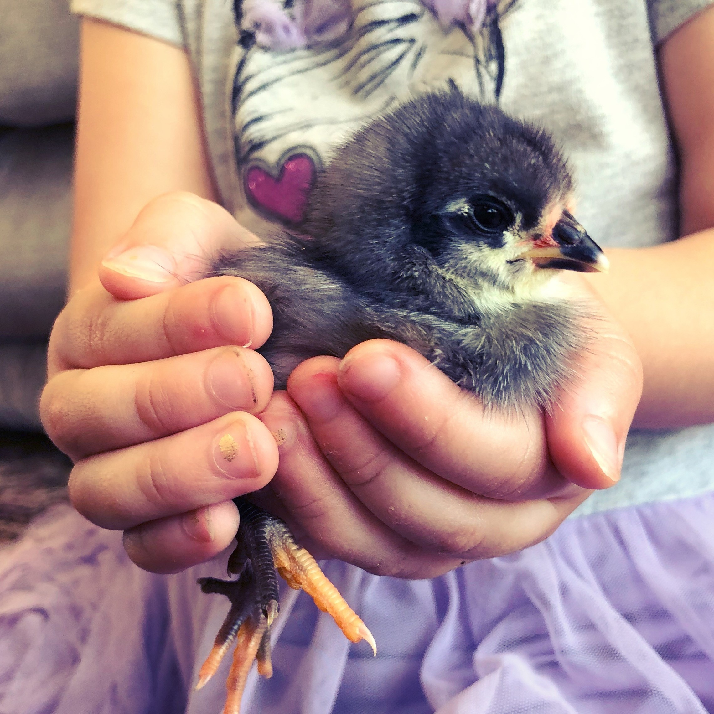 Gemma holding baby chick for rent
