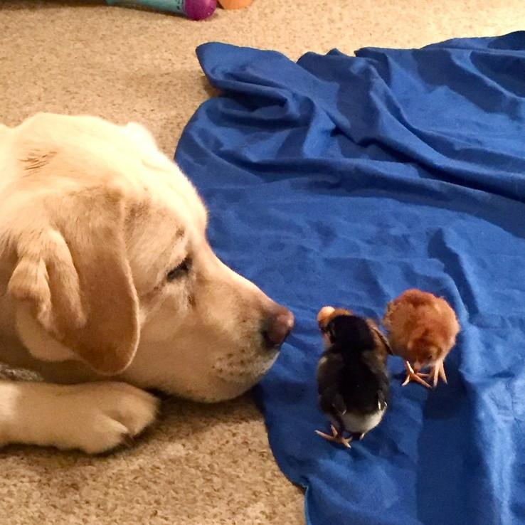 Dog sniffing baby chicks