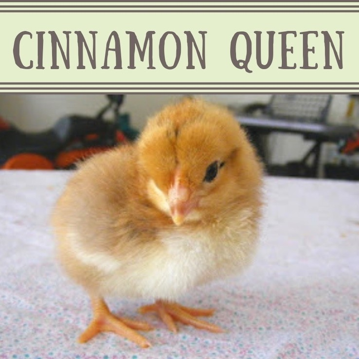 Cinnamon Queen Chick