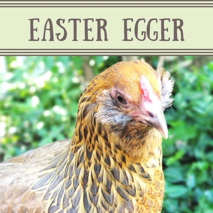 Easter Egger Chicken/Pullet