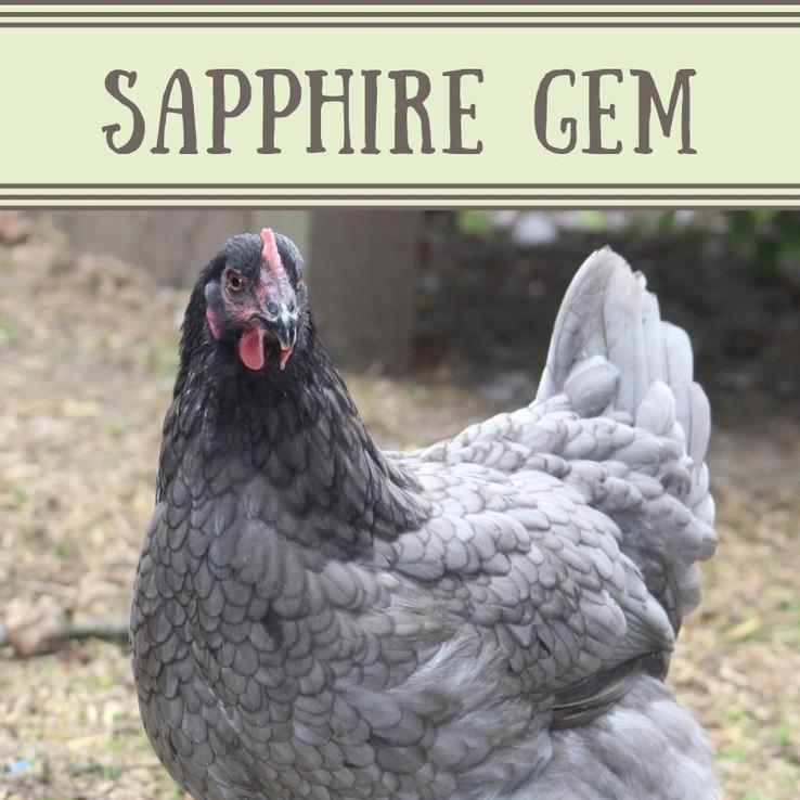 Sapphire Gem Chicken/Pullet