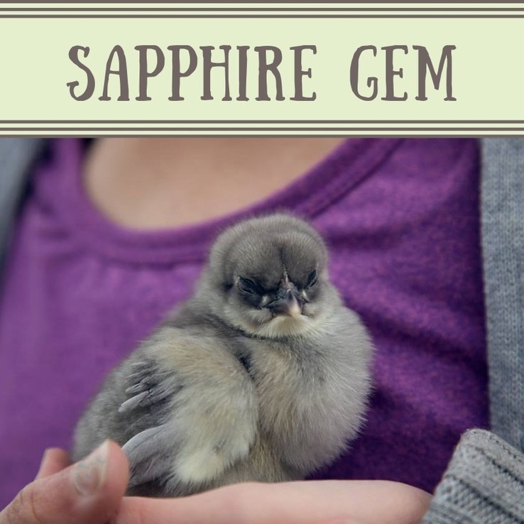 Sapphire Gem Chick