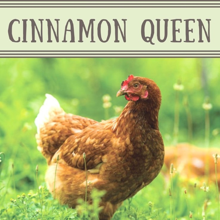 Cinnamon Queen Chicken/Pullet
