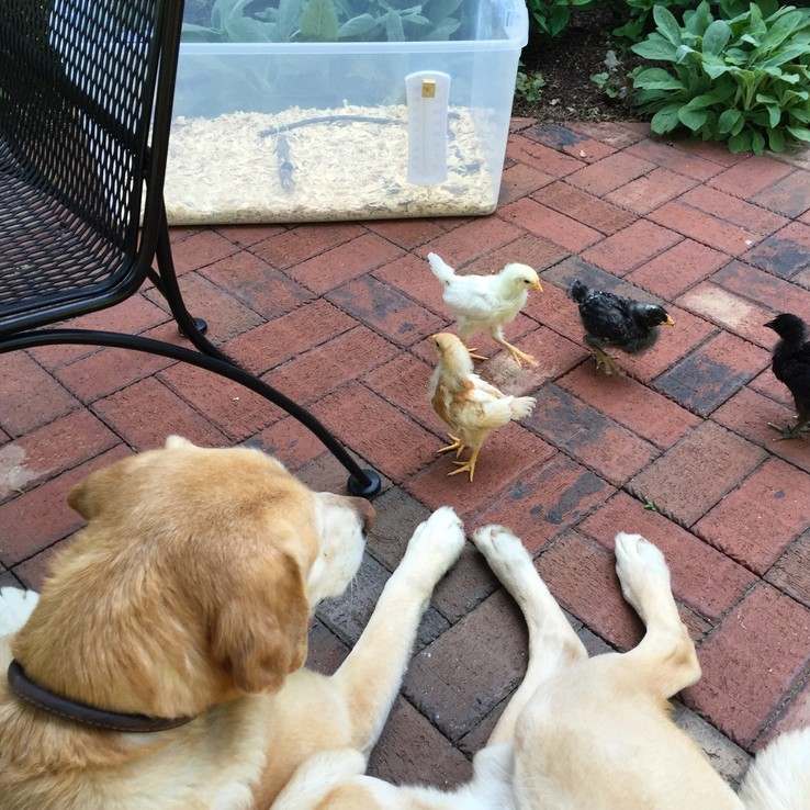 Dog watches Baby Chicks on Patio
